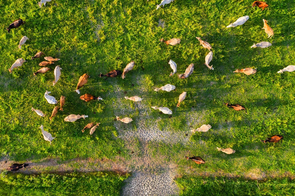Image shows cows eating, from a top view